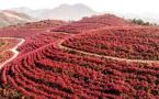 安徽庐江蓝莓红叶满山坡