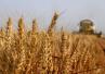最新研究!新谷物种植技术有望提高粮食产量