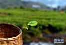 茶业变成致富的金叶