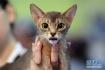 """猫咪""""选美""""大赛在罗马尼亚展览中心举行"""