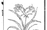 """中国也有代表母亲的花,不是康乃馨而是""""黄花菜"""""""