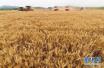 小麦收购价一周内快速上涨 涨势会延续吗?