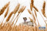 """山东宁阳:小麦""""种、收、售""""成闭合"""