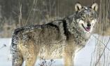 一只狼首次离开切尔诺贝利