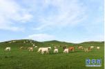 蓝蓝的天上白云飘,白云下面马儿跑!锡林郭勒草原美哭网友