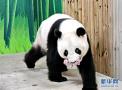 """""""广州土生""""大熊猫""""顺利产仔"""