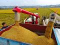 丰收2018:亩产1017公斤 江山单季晚稻百亩方平均亩产再创全省纪录
