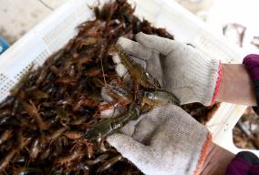 15元/斤!小龙虾批发价跌入年度低谷
