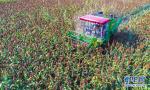 河北枣强:高粱种植助推产业脱贫