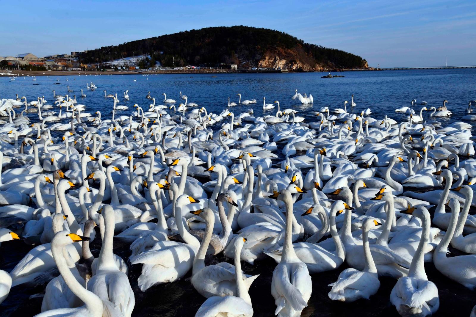 这是荣成大天鹅国家级自然保护区内的大天鹅(1月11日摄)。新华社记者 王凯 摄