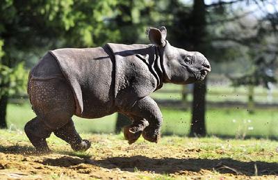 据英国《每日邮报》10月8日报道,近日,英国惠普斯奈德动物园的一头满月印度犀牛宝宝首次亮相,面对镜头在草地上活蹦乱跳,十分可爱。
