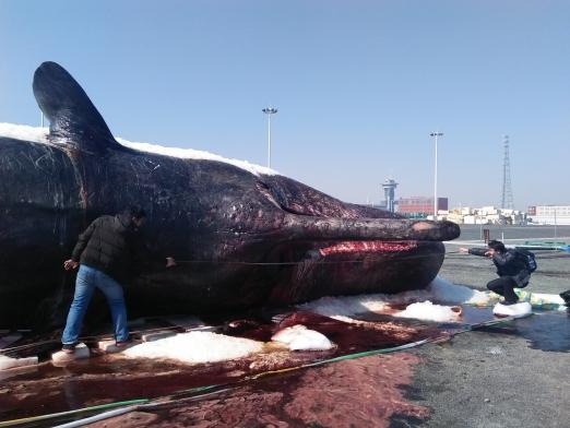 江苏搁浅抹香鲸大连塑化记 制作周期将不少于3年
