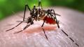 利用肠道细菌关闭生育基因 新方法消灭寨卡蚊虫