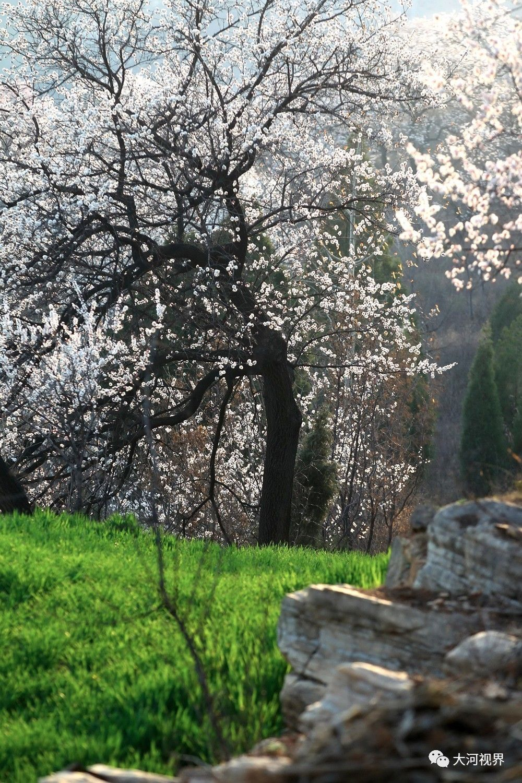 春日里的中原大地:洁白如雪的梨花、粉红色的桃花、杏花竞相开放,煞是好看,浓浓的春意蔓延在这片土地,饱含着希望和美好。 让我们跟随春天的脚步,感受这一朝气蓬勃、生机盎然的时节。图为新密尖山乡杏花村的杏花盛开了,漫山遍野、让人心醉。