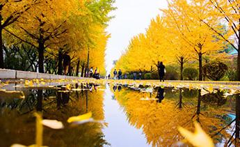 千余银杏树满冠金黄 行人如行走画中