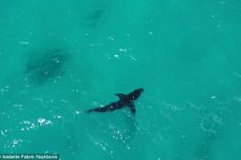 """吓瘫!金发美女冲浪时被大白鲨""""追杀"""" 最近距离仅两米"""