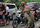 长尾猴街头心酸卖艺