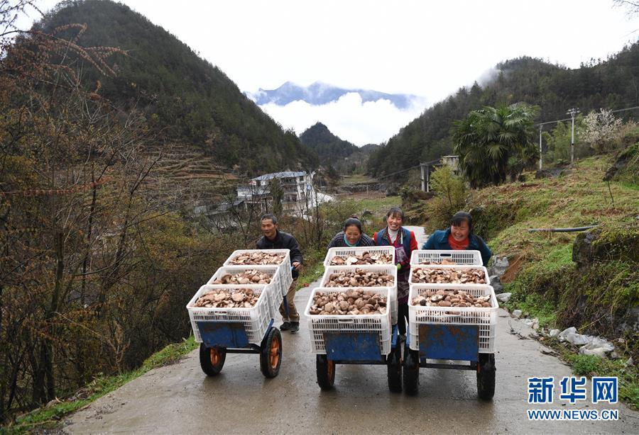 香菇产业助推乡村脱贫
