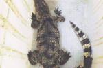 75条暹罗鳄鱼在线等主人 温州法院首次拍卖活体动物