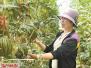 孟津送庄镇袖珍西瓜集中上市 助农户脱贫致富