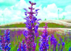 哈尔滨主城区新植薰衣草鼠尾草近万平方米 花期至9月