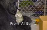 """懂手语、养过猫:大猩猩""""可可""""去世 享年46岁(图)"""