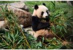 特写:法国出生首只大熊猫宝宝周岁庆生