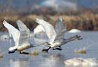 鄱阳湖频现珍稀鸟种