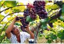 潍坊本土产的葡萄已经开始大量上市 价格翻番