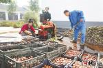 """丰润区依托""""合作社+基地+农户""""模式带动农民增收"""