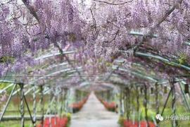 美哭!开化杨林有一条千米紫色瀑布!走起~
