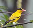 大连自然博物馆:几处早莺争暖树 金衣公子——黄鹂