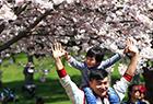 多伦多樱花绽放