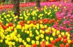 五一小长假大连劳动公园近10万游人入园赏郁金香