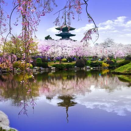 东湖樱花节