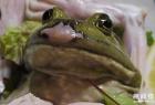 吃的時候還在動!日本最變態美食:生吃活牛蛙