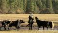 看牦牛带来高原风情