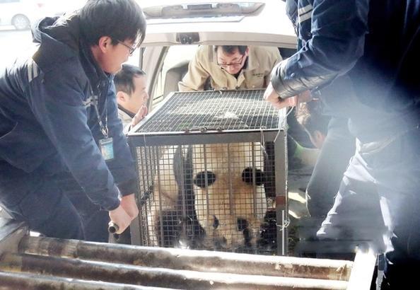 大熊猫叮叮惜别济南,要回四川出嫁去!