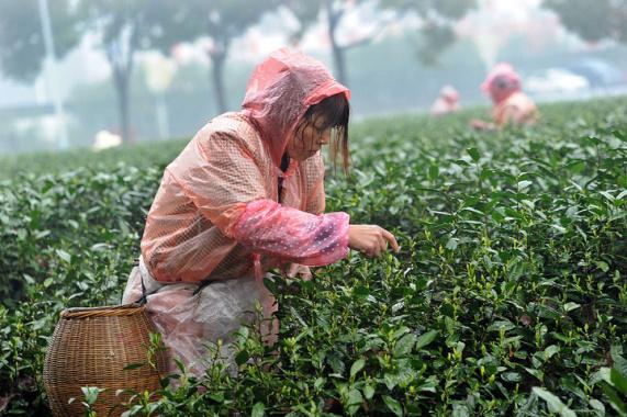 春雨连绵采摘缓慢,想要喝上一杯新上市的龙井茶要花大价钱