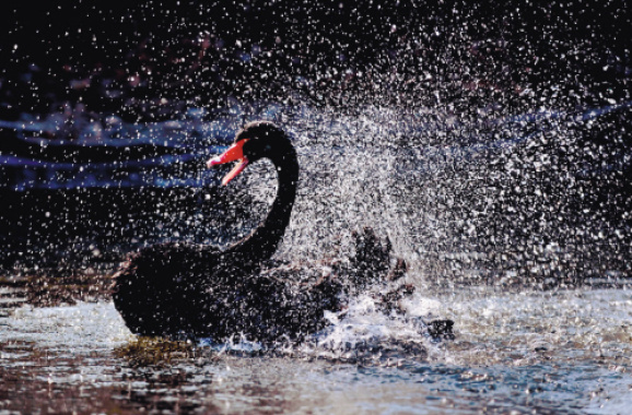黑天鹅从长白岛森林公园越冬基地转至观赏区与游人见面