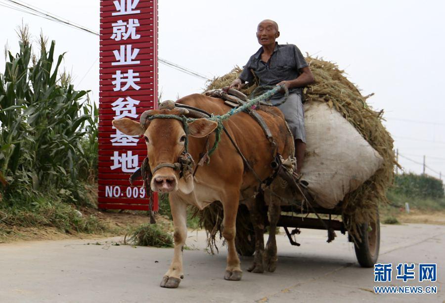 2017年8月27日,河南省安阳市龙安区马投涧镇高白塔村,81岁的高乱只驾着牛车,满载谷秸,收工回家。