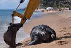 巨龟误食塑料死亡
