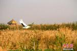 戈壁湿地鹤舞弄秋意 构成秋日清晨欢腾场景