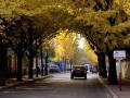 """锦州保留两条""""黄金大道"""" 为让市民欣赏银杏"""