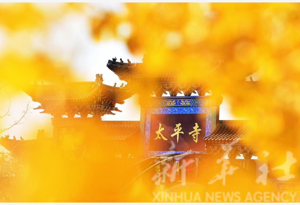 山东胶州:千年银杏披金衣
