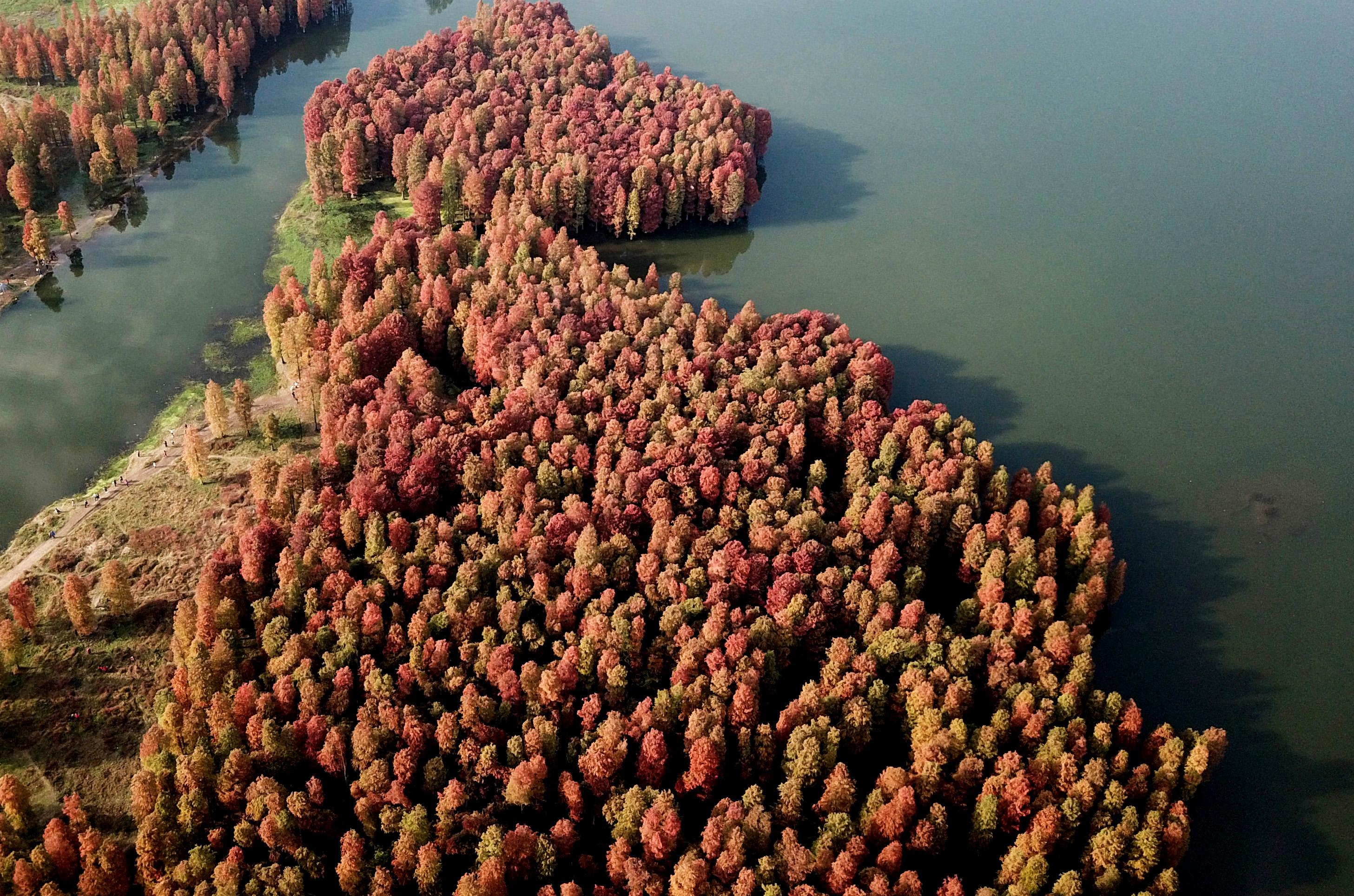 杉红似火犹未尽,浙江余姚池杉林成冬日里的一抹亮色