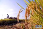 2017山东产粮944.64亿斤 为历史第一高产年