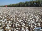 我国棉花生产综合机械化率突破70%