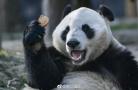 为接熊猫芬兰记者拼了!