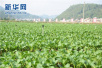 """吃上""""放心肉菜""""!青岛在埠外首设十大蔬菜保障基地"""